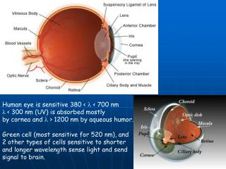 Human eye is sensitive 380 <  l  < 700 nm l  < 300 nm (UV) is absorbed mostly