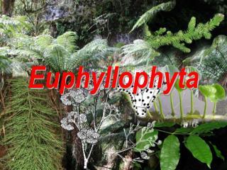 Euphyllophyta
