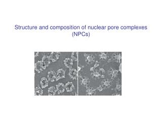Structure and composition of nuclear pore complexes (NPCs)