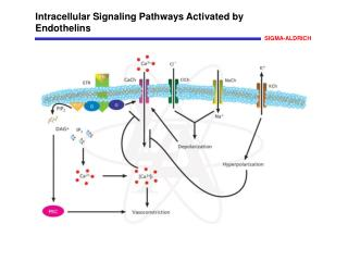 Intracellular Signaling Pathways Activated by Endothelins
