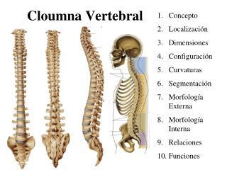 Cloumna Vertebral