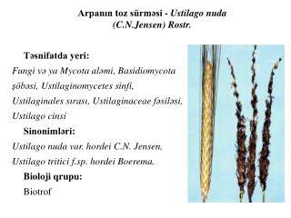 Təsnifatda yeri : Fungi  və ya Mycota aləmi ,  Basidiomycota şöbəsi ,  Ustilaginomycetes sinfi ,