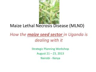 Maize Lethal Necrosis Disease (MLND)