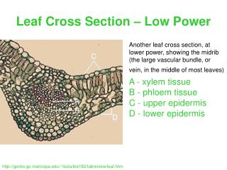 Leaf Cross Section – Low Power