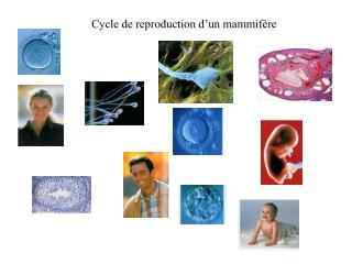 Cycle de reproduction d'un mammifère