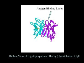 Ribbon View of Light (purple) and Heavy (blue) Chains of IgE