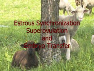 Estrous Synchronization Superovulation and Embryo Transfer