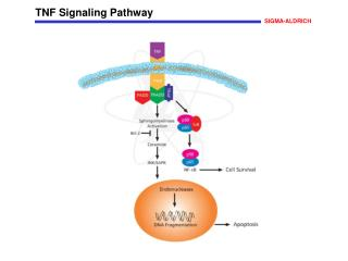 TNF Signaling Pathway