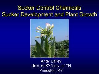 Sucker Control Chemicals Sucker Development and Plant Growth