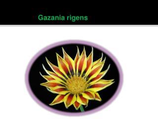 Gazania rigens