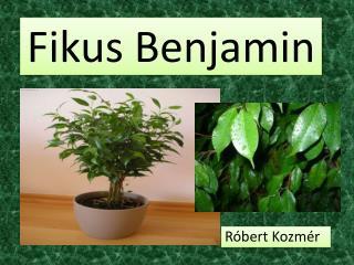 Fikus  Benjamin
