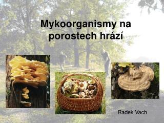 Mykoorganismy na porostech hr�z�