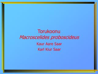 Torukoonu Macroscelides proboscideus
