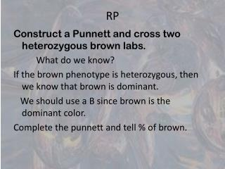Construct a Punnett and cross two heterozygous brown labs.           What do we know?