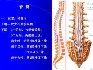 脊  髓 一、 位置:椎管内 上端 —  枕大孔处接延髓 下端 — 3 个月前,与椎管等长。 3 个月后,高度差出现。              出生时,达第 3 腰椎体下缘