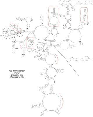 18S rRNA secondary structure Diplosoma ooru  (Aplousobranchia)