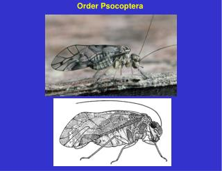 Order Psocoptera