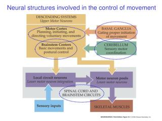 Neural structures involved in the control of movement