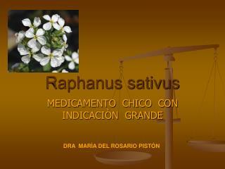 Raphanus sativus