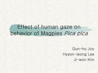 Effect of human gaze on behavior of Magpies  Pica pica