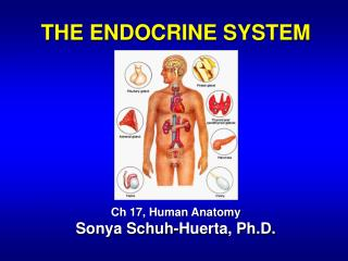 THE ENDOCRINE SYSTEM Ch 17, Human Anatomy Sonya Schuh-Huerta, Ph.D.