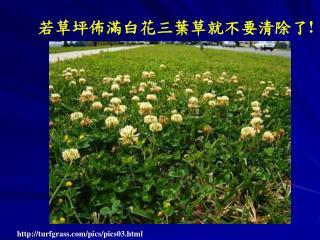 若草坪佈滿白花三葉草就不要清除了 !
