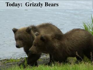 Today:  Grizzly Bears