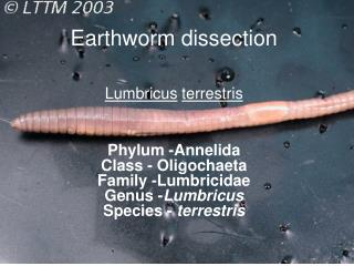 Earthworm dissection