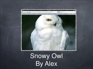 Snowy Owl By Alex