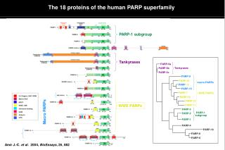 The 18 proteins of the human PARP superfamily