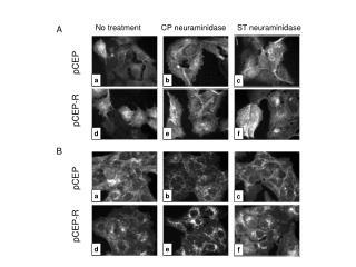 No treatment         CP neuraminidase     ST neuraminidase