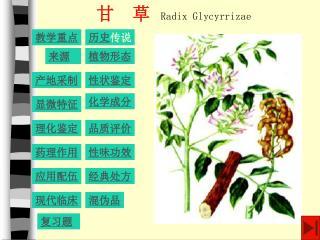 甘 草 Radix Glycyrrizae