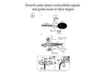 Growth cones detect extracellular signals  and guide axons to their targets