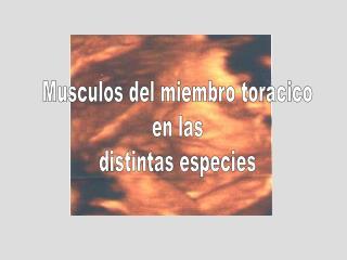 Musculos del miembro toracico en las distintas especies
