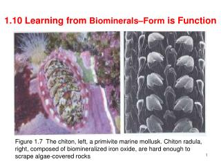 1.10 Learning from  Biominerals–Form  is Function
