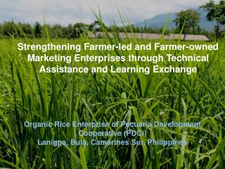 Organic Rice Enterprise of  Pecuaria  Development Cooperative ( PDCi )