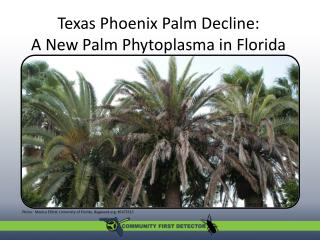 Texas Phoenix Palm Decline: A New Palm Phytoplasma in Florida  A new palm phytoplasma in Florida