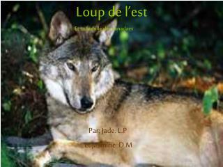Loup de l'est Et sa famille des canadaes