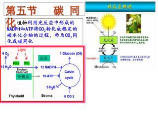 第五节   碳 同 化