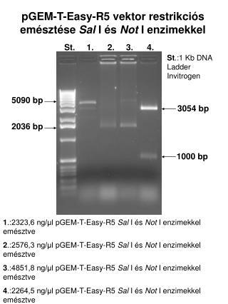 pGEM-T-Easy-R5 vektor restrikciós emésztése  Sal  I és  Not  I enzimekkel