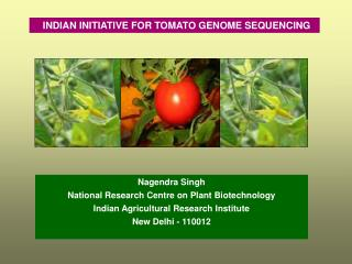 INDIAN INITIATIVE FOR TOMATO GENOME SEQUENCING