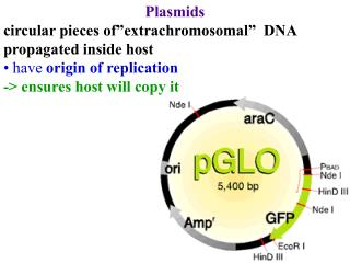 "Plasmids circular pieces of""extrachromosomal""  DNA propagated inside host"