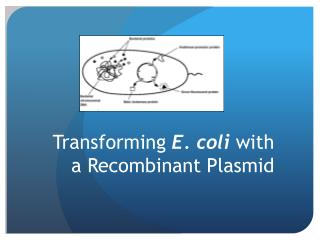 Transforming  E. coli  with a Recombinant Plasmid