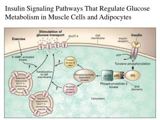 Insulin Signaling Pathways That Regulate Glucose Metabolism in Muscle Cells and Adipocytes