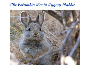 The Columbia Basin Pygmy Rabbit