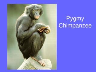 Pygmy Chimpanzee