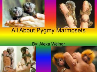 All About Pygmy Marmosets