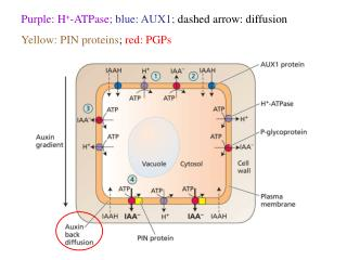Purple: H + -ATPase; blue: AUX1;  dashed arrow: diffusion Yellow: PIN proteins ;  red: PGPs
