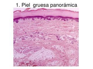 1. Piel  gruesa panor�mica