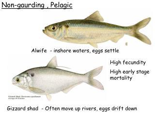 Non-gaurding , Pelagic